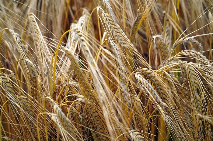 Pšenica si vyžaduje starostlivosť